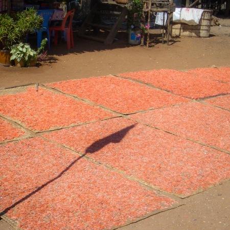Shrimp drying in Cambodia